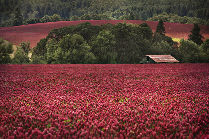 Affolter_Crimson and Clover