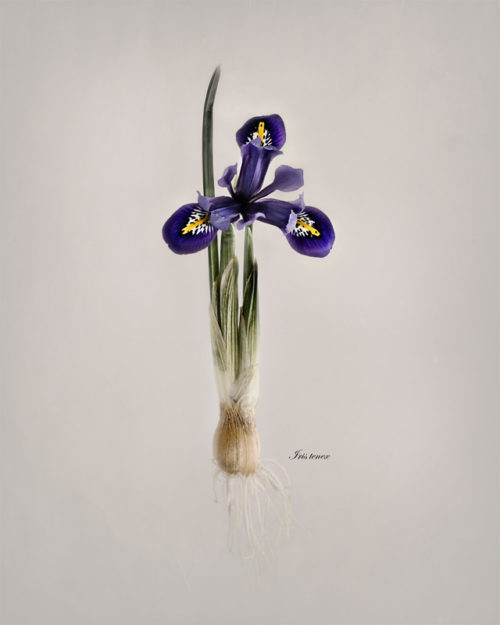 Affolter_Pacific Iris